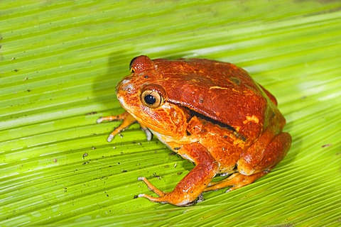 Tomato Frog or Crapaud Rouge de Madagascar (Dyscophus antongilii), Madagascar, Africa