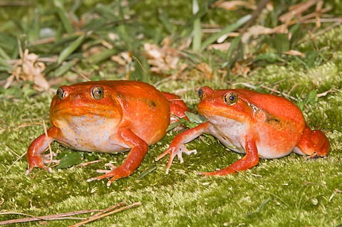 Couple of Tomato Frogs or Crapaud Rouge de Madagascar (Dyscophus antongilii), Madagascar, Africa