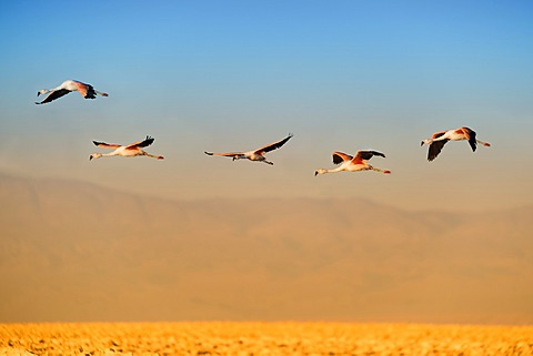 Andean Flamingos (Phoenicoparrus andinus) in flight, Laguna de Chaxa, Atacama desert, Chile, South America