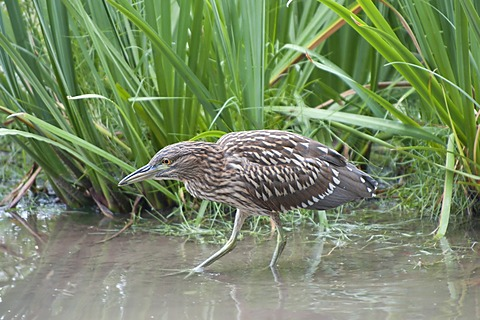 Immature Black-crowned Night-Heron (Nycticorax nycticorax nycticorax), Tigre, Delta del Parana, Argentina, South America
