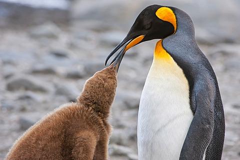 King penguin (Aptenodytes patagonicus) feeding a chick, St. Andrews Bay, South Georgia Island