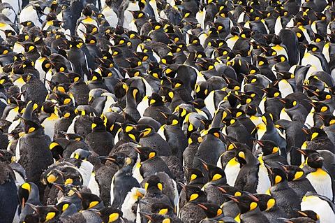 King penguin (Aptenodytes patagonicus) colony, St. Andrews Bay, South Georgia Island