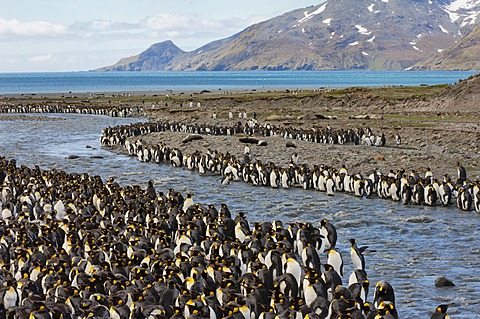 King penguin (Aptenodytes patagonicus) colony, St. Andrews Bay, South Georgia Island