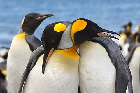 Couple of King penguins (Aptenodytes patagonicus), St. Andrews Bay, South Georgia Island