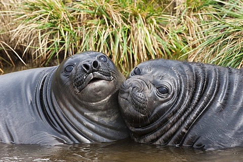 Two young Southern Elephant Seals (Mirounga leonina) playing in the water, Fortuna Bay, South Georgia Island