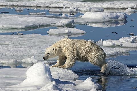Female Polar bear (Ursus maritimus) jumping over ice floe, Svalbard Archipelago, Barents Sea, Norway