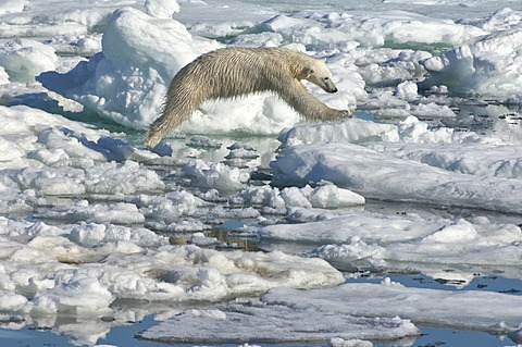 Female Polar bear (Ursus maritimus) on pack ice, Svalbard Archipelago, Barents Sea, Norway - 832-369340