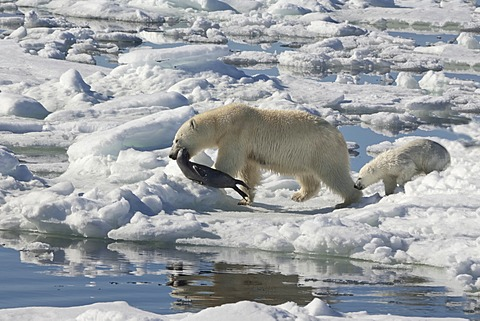 Female Polar bear (Ursus maritimus) dragging a Ringed seal (Pusa hispida or phoca hispida) and accompanied by one cub, Svalbard Archipelago, Barents Sea, Norway - 832-369346