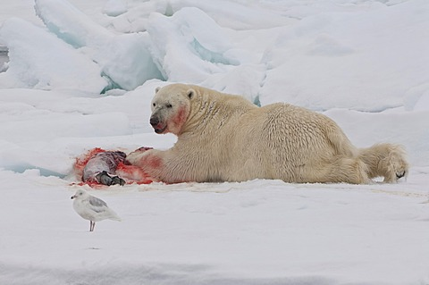 Male polar bear (Ursus maritimus) with a seal prey, Svalbard Archipelago, Barents Sea, Norway, Arctic
