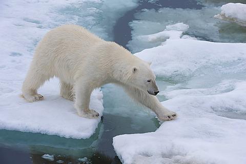 Female Polar bear (Ursus maritimus) on the pack ice, Svalbard Archipelago, Barents Sea, Norway, Arctic