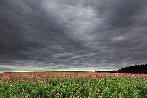 Field of poppies, Armschlag, Waldviertel region, Lower Austria, Austria, Europe