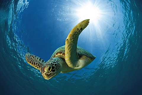 Green sea turtle or Green turtle (Chelonia mydas) diving, Dimakya Island, Palawan, Philippines, Pacific Ocean