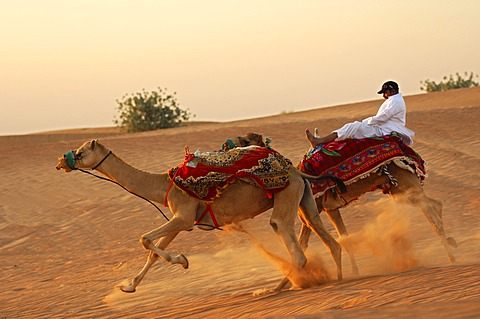 Wild camel ride, runaway camels with a desperate jockey, Dubai, United Arab Emirates, Middle East