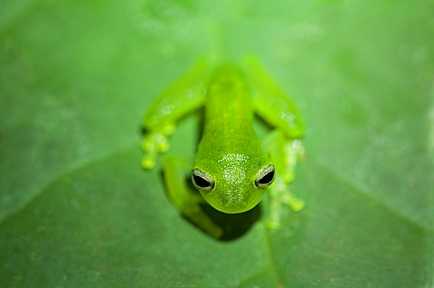 Glass Frog (Cochranella midas), Tiputini Rainforest, Yasuni National Park, Ecuador, South America