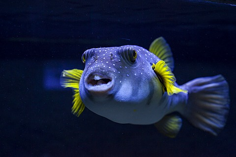 White-spotted puffer (Arothron hispidus), aquarium, Zella-Mehlis, Thuringia, Germany, Europe