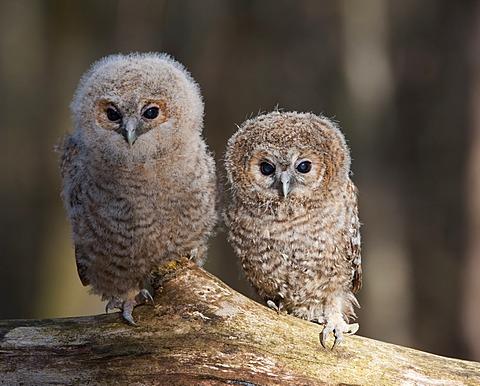 Tawny owls (Strix aluco)