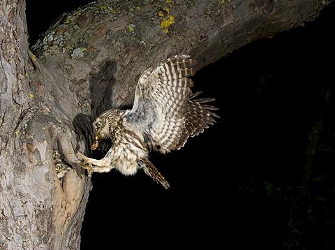 Little Owl (Athene noctua) approaching nesting hole with prey, Bitburg, Rhineland-Palatinate, Germany, Europe