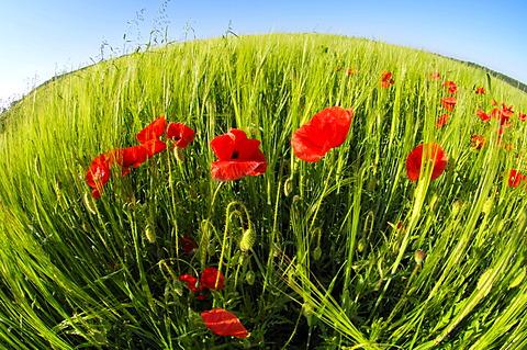 Blooming Corn Poppy, Red Poppy in a grain field