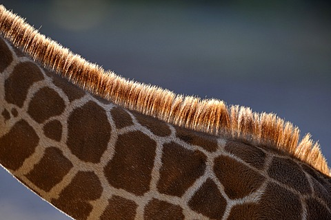 Somali Giraffe (Giraffa camelopardalis reticulata), juvenile, mane with backlighting