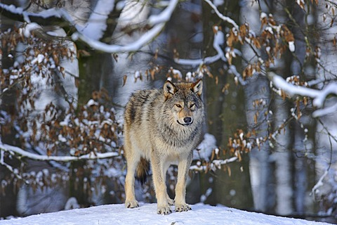 Mackenzie valley wolf, Canadian timber wolf (Canis lupus occidentalis) in the snow, young wolf
