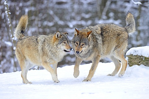Mackenzie valley wolves, Canadian timber wolves (Canis lupus occidentalis), young wolves playing in the snow - 832-369856