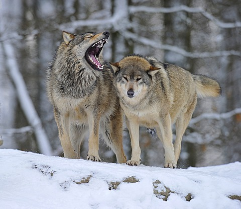 Mackenzie valley wolves, canadian timber wolves (Canis lupus occidentalis), young wolves, hierarchy fights, biting
