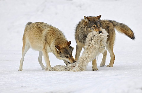 Mackenzie valley wolves, canadian timber wolves (Canis lupus occidentalis), two wolves in the snow, playing with a sheepskin
