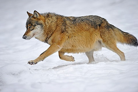 Mackenzie valley wolf, Canadian timber wolf (Canis lupus occidentalis) running in the snow