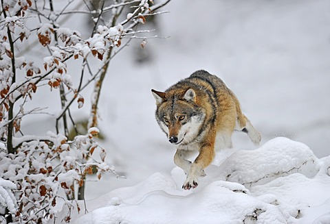 Mackenzie valley wolf, Canadian timber wolf (Canis lupus occidentalis) jumping in the snow