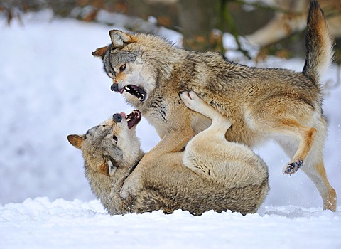 Mackenzie-Wolves, Eastern wolf, Canadian wolf (Canis lupus occidentalis) in snow, fight for social ranking - 832-369864