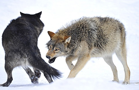 Mackenzie Wolf, Canadian wolf (Canis lupus occidentalis) in snow, young animal trying to bite another dog's side
