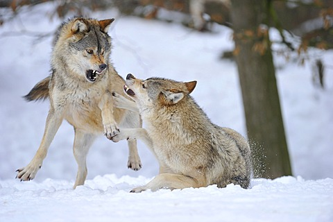 Mackenzie Valley Wolves, Canadian Timber Wolves (Canis lupus occidentalis), in the snow, fight for rank order - 832-369869
