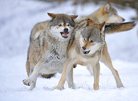 Mackenzie Valley Wolves, Canadian Timber Wolves (Canis lupus occidentalis), in the snow, fight for rank order