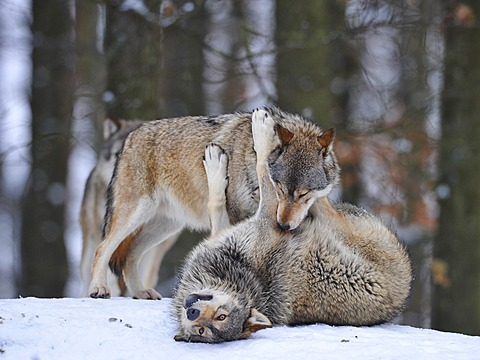 Mackenzie Valley Wolves, Canadian Timber Wolves (Canis lupus occidentalis), young playing in the snow