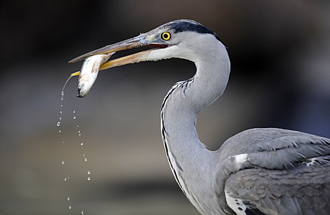Grey Heron (Ardea cinerea) in an urban environment, feeding on fish, Stuttgart, Baden-Wuerttemberg, Germany, Europe