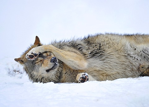Mackenzie Valley Wolf, Canadian Timberwolf (Canis lupus occidentalis) in the snow, Bavarian Forest National Park, Germany, Europe