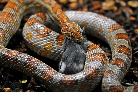 Corn Snake or Red Rat Snake (Pantherophis guttatus, Elaphe guttata guttata) eating a mouse