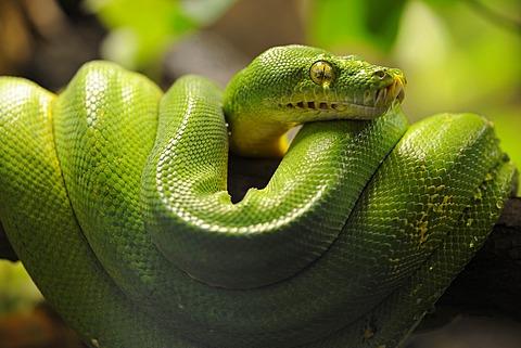 Green Tree Python (Chondropython viridis, Morelia viridis)