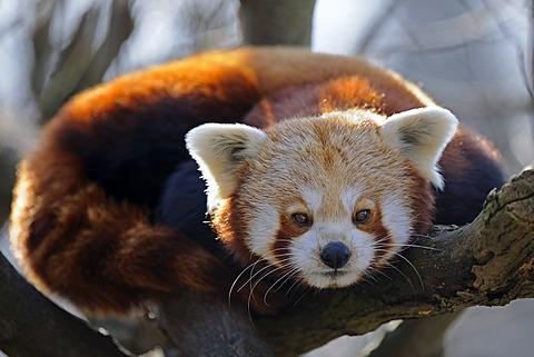 Red Panda or Lesser Panda (Ailurus fulgens) - 832-369955