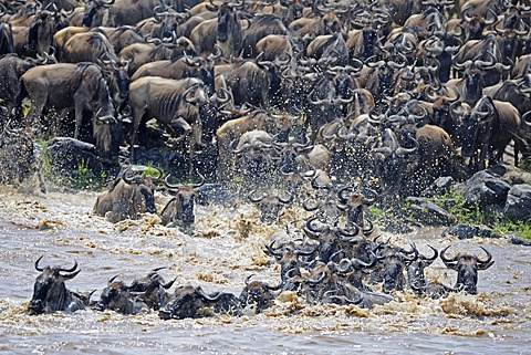 Great Migration, Blue Wildebeest (Connochaetes taurinus), gnus crossing the Mara River, Masai Mara, Kenya, Africa