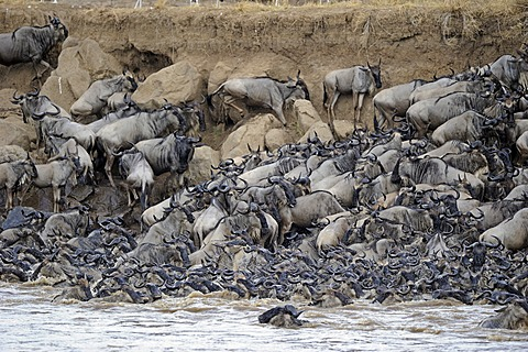 Wildebeest (Connochaetes taurinus), Gnu migration, jostling on the bank of the Mara River, Masai Mara, Kenya, East Africa, Africa