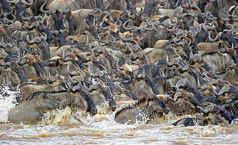 Wildebeest (Connochaetes taurinus), Gnu migration, wildebeest while crossing the Mara River, Masai Mara, East Africa, Africa