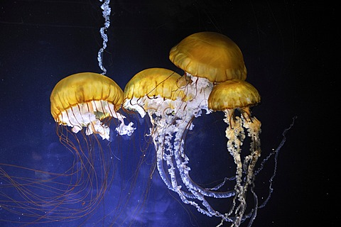 Pacific Sea Nettles (Chrysaora fuscescens), San Francisco, California, USA