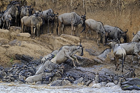 Blue or Common Wildebeest (Connochaetes taurinus), during migration, wildebeest jostling for positions ont he shore of the Mara River, Masai Mara, Kenya, East Africa, Africa