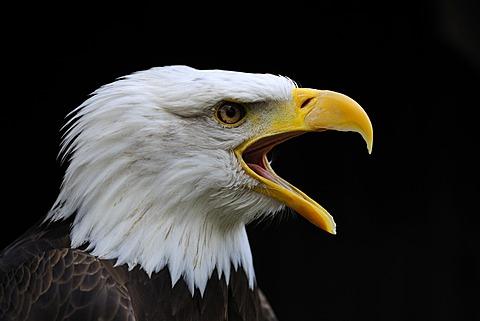 Bald Eagle (Haliaeetus leucocephalus), portrait, Hesse, Germany, Europe