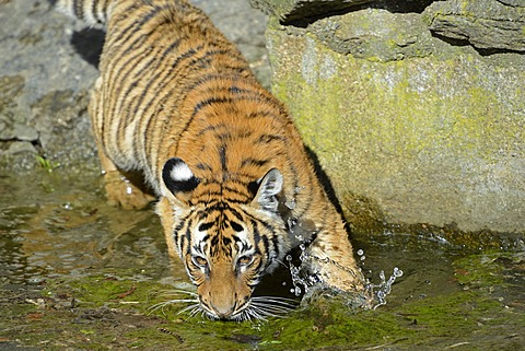 Indochinese Tiger or Corbett's Tiger (Panthera tigris corbetti), juveniles drinking at the edge of water, Berlin Zoo, Germany, Europe, captive