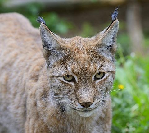 Eurasian lynx (Lynx lynx), Brandenburg, Germany, Europe