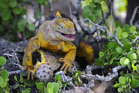 Galapagos Land Iguana (Conolophus subcristatus), island of Plaza Sur subspecies, feeding on a Galápagos prickly pear leaf (Opuntia echios), Galapagos Islands, UNESCO World Heritage Site, Ecuador, South America