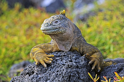 Galapagos Land Iguana (Conolophus subcristatus), island of Plaza Sur subspecies, Galapagos Islands, UNESCO World Heritage Site, Ecuador, South America