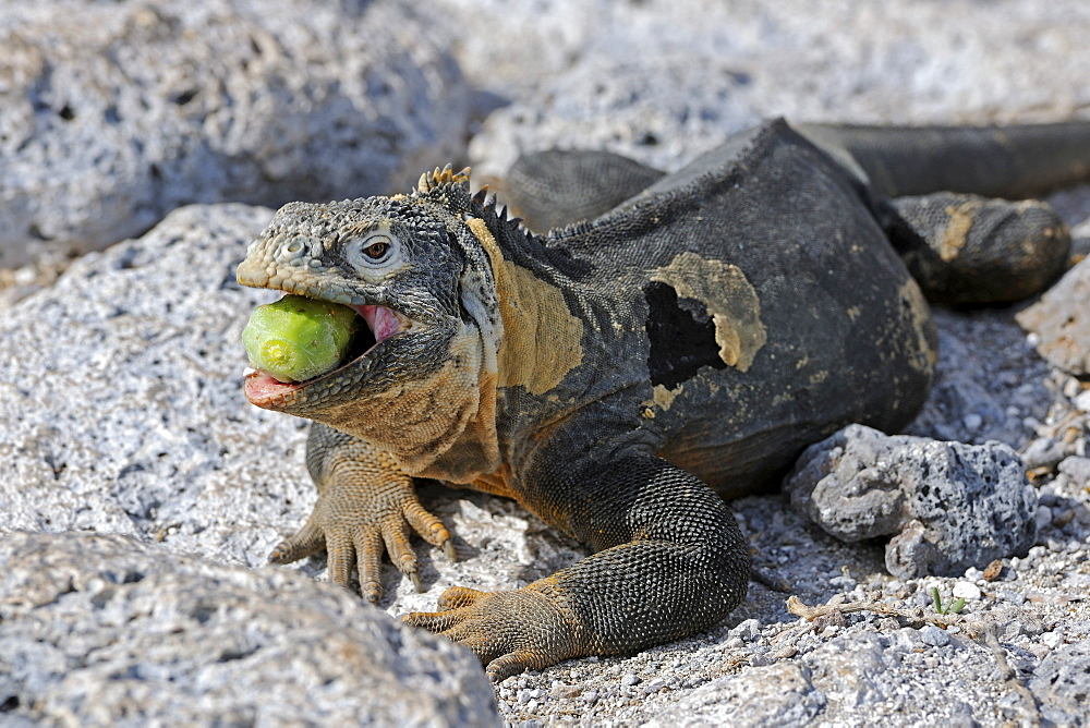 Galapagos Land Iguana (Conolophus subcristatus), island of Plaza Sur subspecies, eating a Galápagos prickly pear (Opuntia echios), Galapagos Islands, UNESCO World Heritage Site, Ecuador, South America